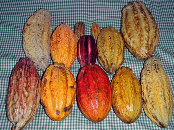 Cacao-varieties