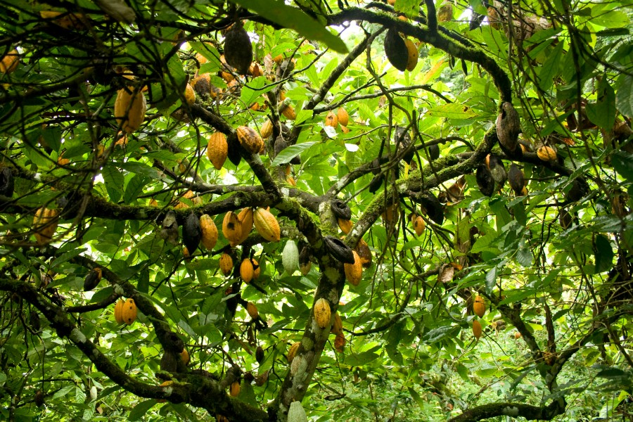 cacao-abondance-2