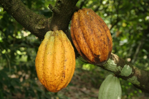 cacao pods on tree