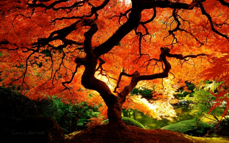 japanese_maple_in_fall_color_1680x1050.jpg